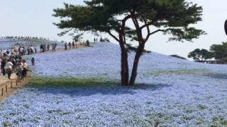 ひたち海浜公園でネモフィラを見た 開花情報と混雑や駐車場のこと