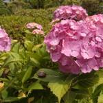 あじさいの名所が茨城にある!保和苑のあじさいは子連れでも楽しい!